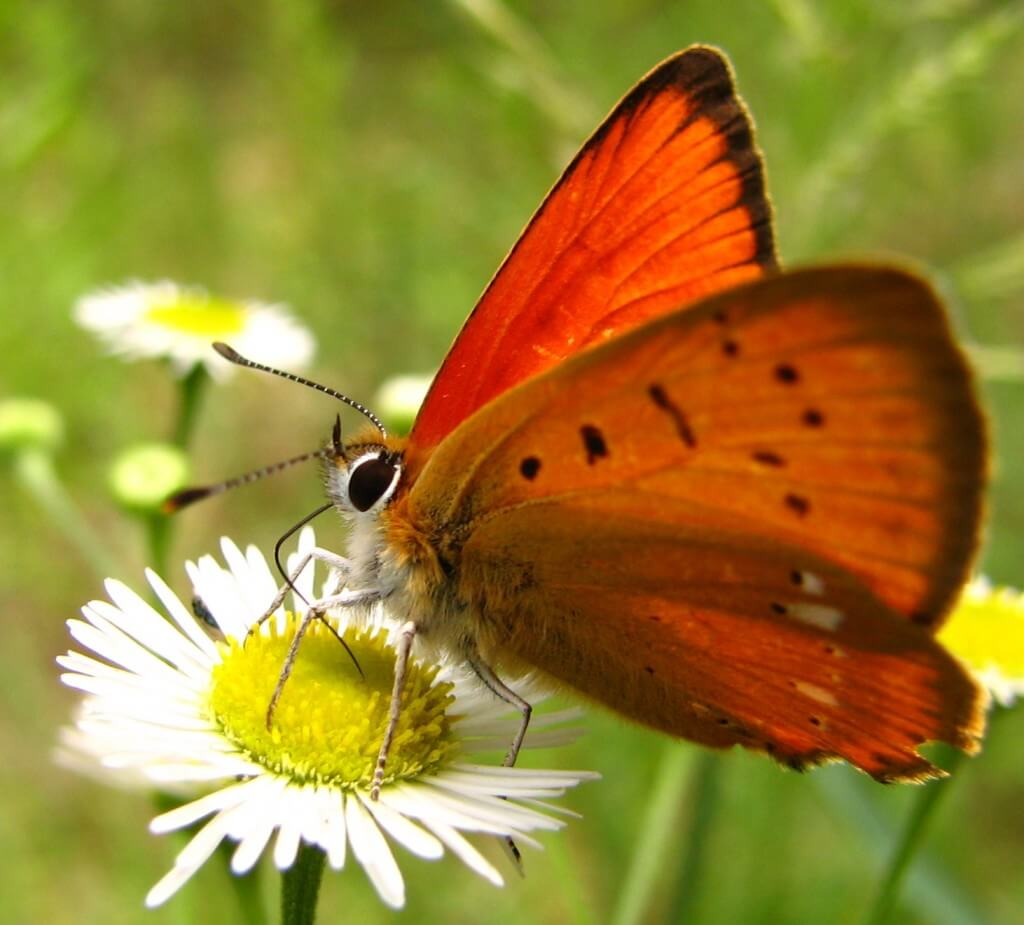 butterfly-drinking-nectar